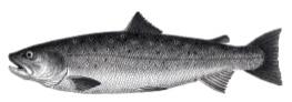 Bolles Köche - Fisch